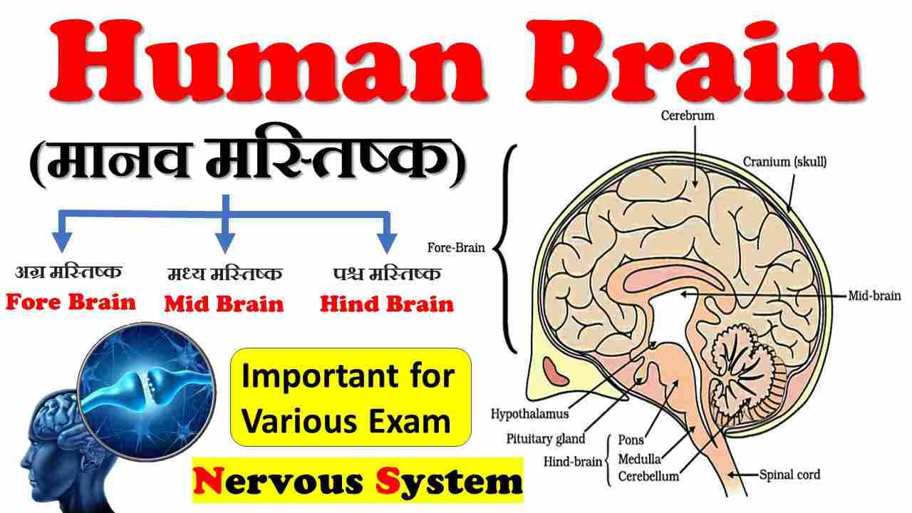 Human Brain (मानव मस्तिष्क)