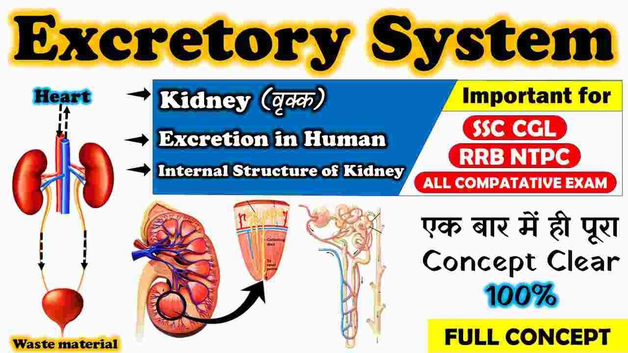 Human_Excretory_System